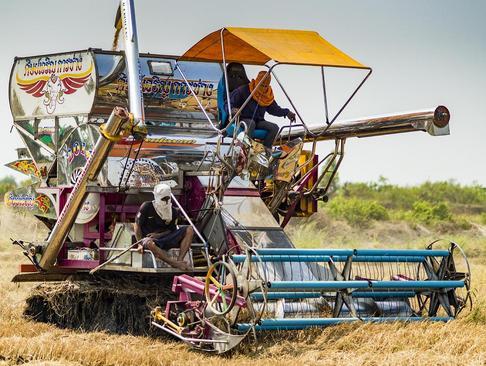 درو محصول برنج – تایلند