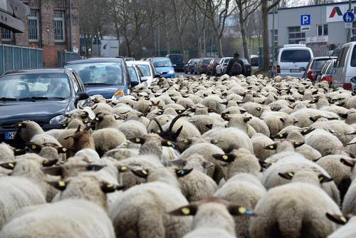 عبور یک دامدار با 500 گوسفند از خیابانی در شهر کاسل آلمان