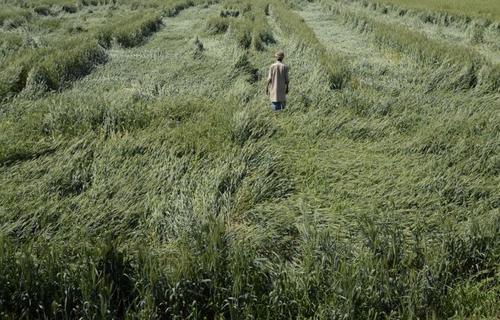 کشاور هندی در حال بررسی کشتزار گندم آسیب دیده از باران و طوفان