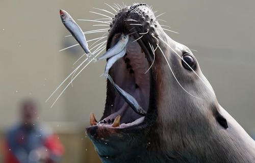 شیر دریایی در پارک آبی در مریلند آمریکا