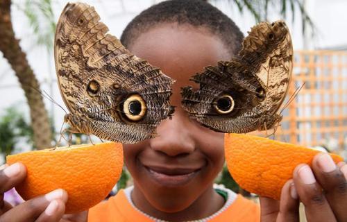 دو پروانه در موزه تاریخ طبیعی لندن. عکس از لیون نیل - خبرگزاری فرانسه