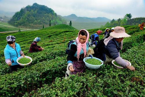 کشاورزان چینی در حال چیدن برگ چای