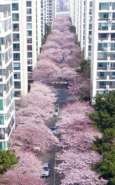 شکوفه های گیلاس در دو طرف خیابانی در شهر بندری بوسان در کره جنوبی