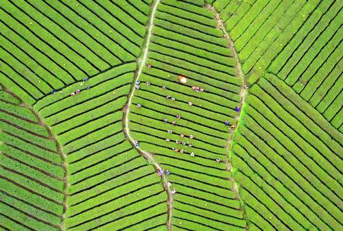 زمین های کشت چای – چین