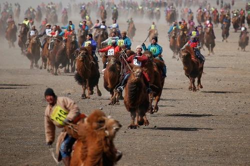 مسابقات شتر سواری در جریان یک جشنواره بهاره در مغولستان