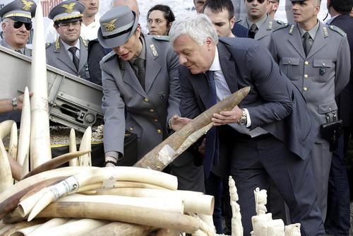 وزیر محیط زیست ایتالیا در کنار یک محموله کشف شده عاج فیل از قاچاقچیان- رم