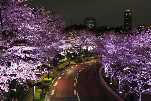 شکوفه های گیلاس در شهر توکیو