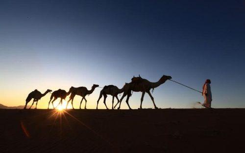 مرد سعودی در حال حرکت دادن کاروان شتر خود در نزدیکی شهر تبوک عربستان
