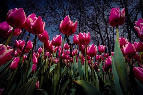 رویش گل لاله – استانبول