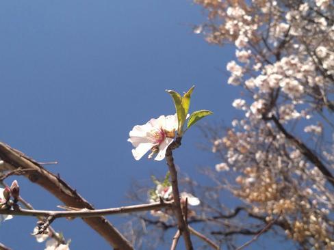 شکوفه های بهاری- قصر دست شیراز- مهریز