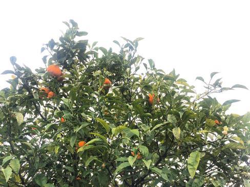 درخت نارنج- شهستان نکا- استان مازندران- محمدرضا فاتح نسب