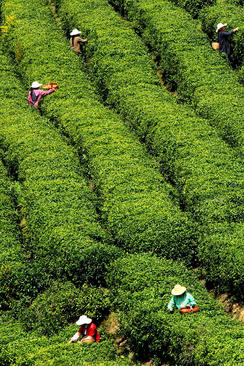 برداشت برگ چای – انشی چین