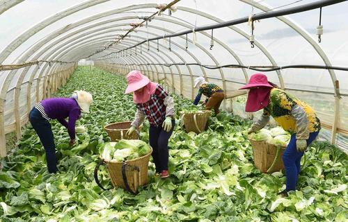 کشاورزان در حال جمع آوری سبزیجات کشت شده  در یک مزرعه گلخانه ای – استان یونان در چین