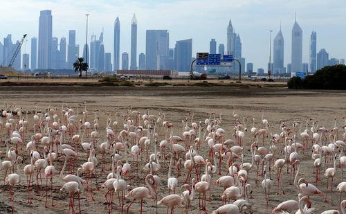 تجمع فلامینگوها در پناهگاه حیات وحش راس الخور در دوبی