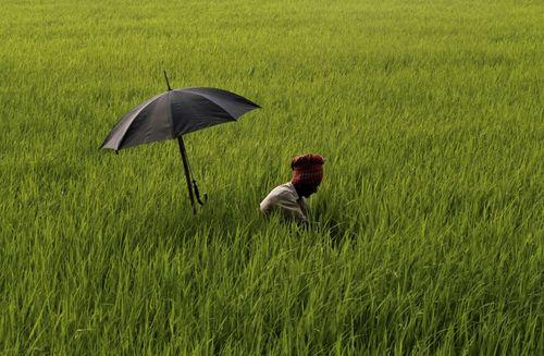 کشاورز هندی مشغول کار در شالیزار