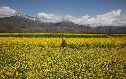 مرد کشمیری در حال قدم زدن در مزرعه خردل - هندوستان