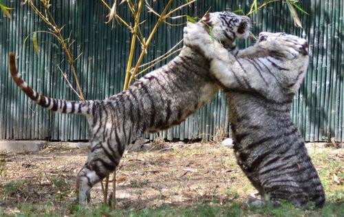 ببرها در حال بازی در باغ وحش دهلی نو- هند