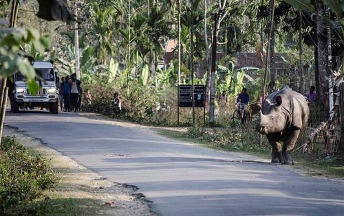 یک کرگدن نزدیکی پارک ملی کازیرانگا در ایالت آسام هند