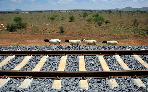 پیاده روی گله بز از کنار راه آهن در کنیا