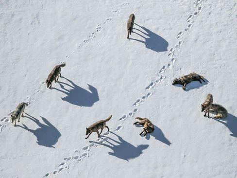 گرگ ها دره یِلو اِستون در آمریکا