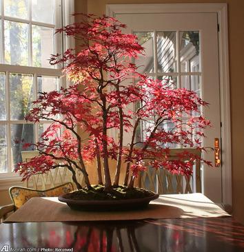 بونسای درخت افرا