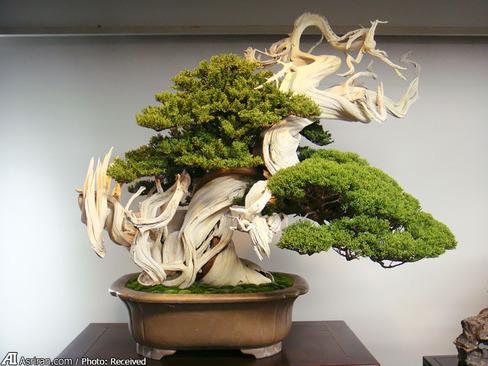 این درخت بونسای بیش از 800 سال عمر دارد