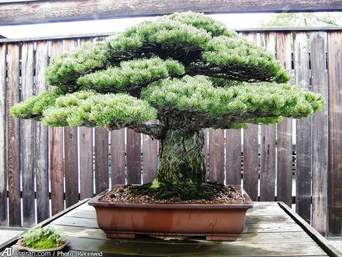 این درخت بونسای 390 ساله از حادثه هیروشیما جان سالم به در برده است.