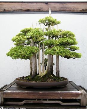 بونسای جنگل