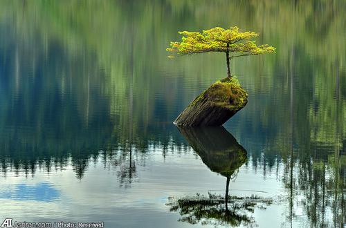 یک بونسای در طبیعت
