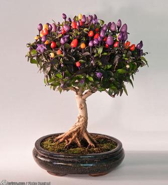 بونسای درخت چیلی