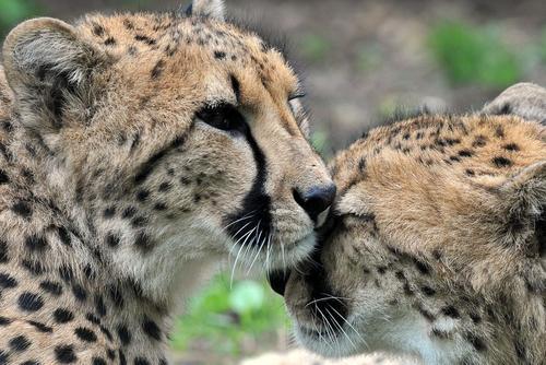 یوزپلنگ های باغ وحشی در جمهوری چک