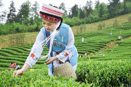 برداشت برگ چای – چین