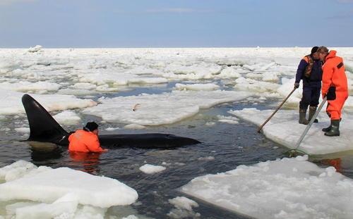 گیر افتادن نهنگ قاتل در میان یخ ها در جزیره ساخالین روسیه