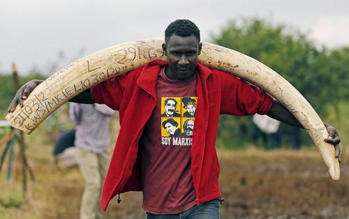 آتش زدن عاج فیل های قاچاق در پارک ملی کنیا