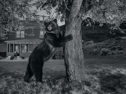 خرس گریزلی در کنار درخت سیب در پارک ملی