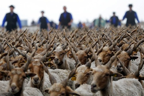بردن گوسفندان به چراگاه – مجارستان