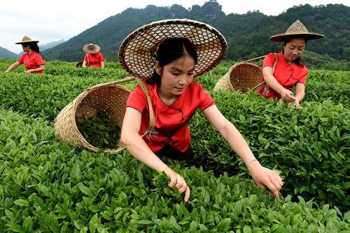 برداشت چای – چین