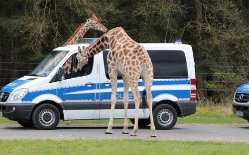 زرافه های پارک سرنگتی در آلمان