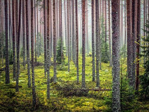 جنگلی در فنلاند