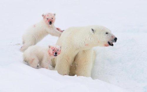 خرس های قطبی پس از خوردن ناهار – منطقه قطبی شمال کانادا
