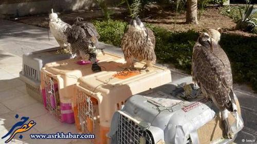 قیمت این پرندگان شکاری ایران در آنسوی آبهای خلیج فارس و در کشورهای عربی از چندصد میلیون تومان تا چند میلیارد تومان تخمین زده میشود.