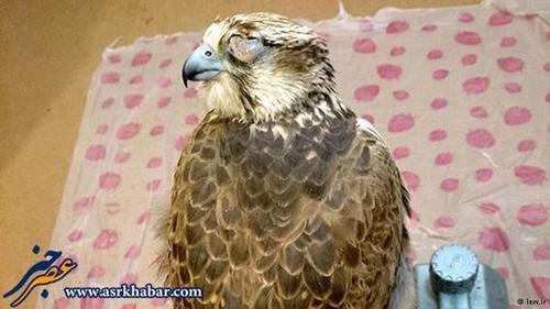 صیادان برای زنده گیری پرندگان شکاری در ایران، توری روی زمین پهن میکنند. برای جلب پرنده، کبوتر یا طعمه دیگری روی تور میگذارند. چالهای کنار تور میکنند و گاهی چند روز در همان چاله منتظر میمانند تا پرنده شکاری روی تور بنشیند و گرفتار شود.