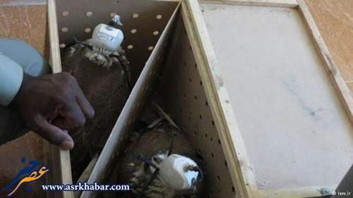 کشف یکی از بزرگترین محموله قاچاق پرندگان شکاری ایران در یک لنج ایرانی در آبهای عمان.