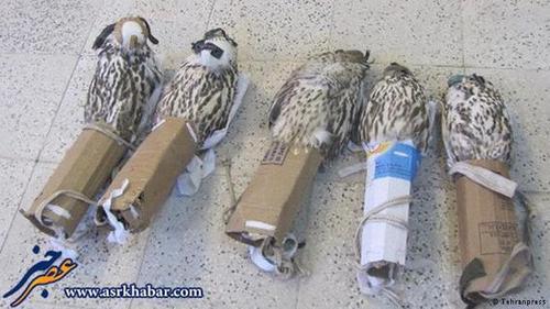 محمولههای بسیاری از پرندگان شکاری ایران به کشورهای عربی میرسند بدون اینکه کشف شوند.
