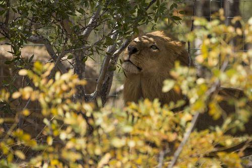 یکی از 33 شیر بازگردانده شده از سیرک هایی در پرو و کلمبیا به آفریقای جنوبی