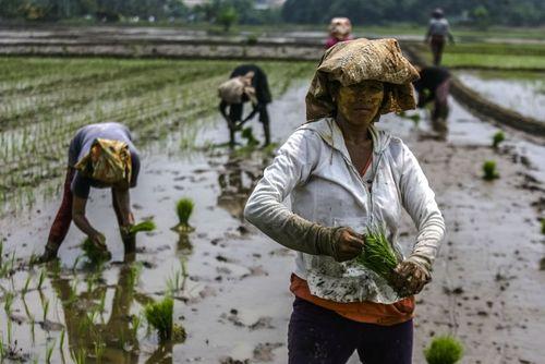 کار در شالیزار در سوماترا اندونزی