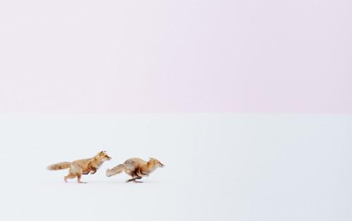 دویدن دو روباه در میان برفها(هوکایدو ژاپن)