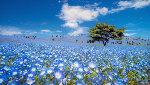 بهار در پارک ساحلی هیتاچی ژاپن