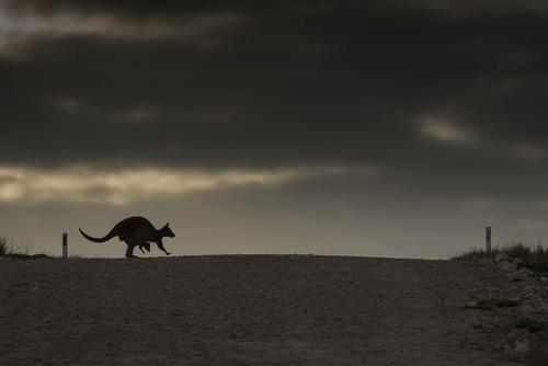 پارک ملی ایسلند و عبور کانگورو و فرزندش از عرض یک جاده