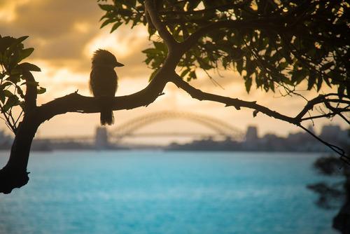 بندرگاه سیدنی و پرنده ی زیبای کوکابورا که نشسته بر شاخه درخت
